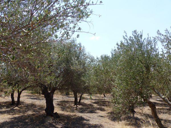 oliviers de crète